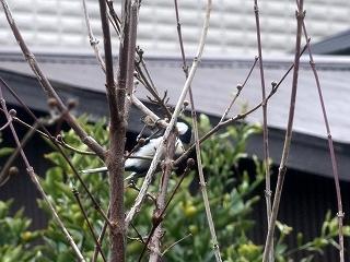 s-シジュウカラDSC01941_2.jpg