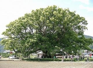 s-s13-加茂の大クスCIMG3203.jpg